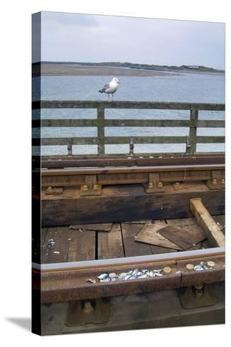 Herring Gull (Larus Argentatus) Having Placed Shells for Cracking on Rail Track on Barmouth Bridge--Stretched Canvas Print