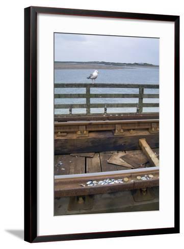 Herring Gull (Larus Argentatus) Having Placed Shells for Cracking on Rail Track on Barmouth Bridge--Framed Art Print