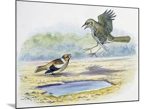 Hawfinch (Coccothraustes Coccothraustes)--Mounted Giclee Print