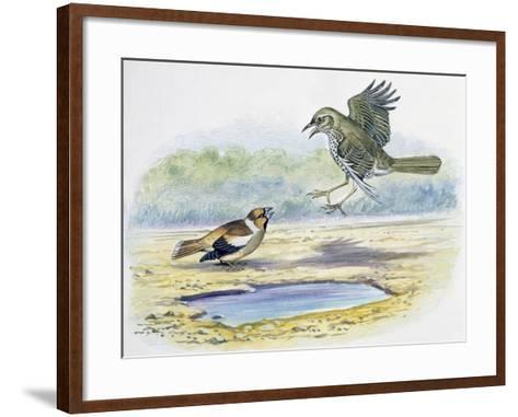 Hawfinch (Coccothraustes Coccothraustes)--Framed Art Print