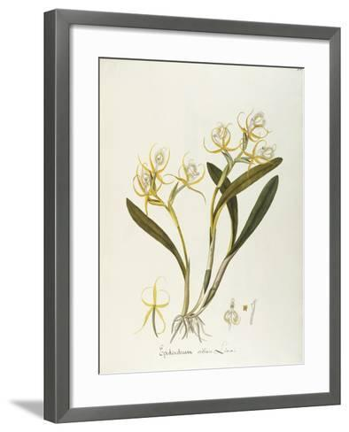 Fringed Star Orchid (Epidendrum Ciliare or Coilostylis Ciliaris)--Framed Art Print