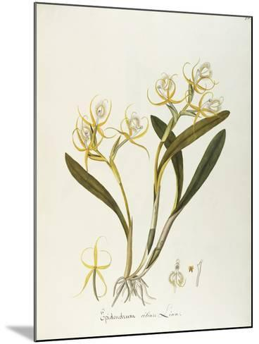 Fringed Star Orchid (Epidendrum Ciliare or Coilostylis Ciliaris)--Mounted Giclee Print