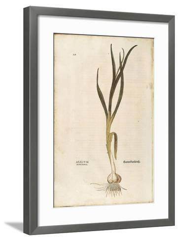 Garlic - Allium Sativum (Allium Hortense) by Leonhart Fuchs from De Historia Stirpium Commentarii I--Framed Art Print