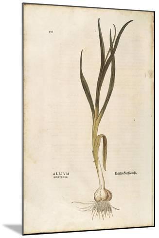 Garlic - Allium Sativum (Allium Hortense) by Leonhart Fuchs from De Historia Stirpium Commentarii I--Mounted Giclee Print