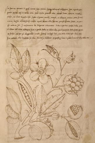 Illustration from Trattato Sui Fiori Dei Parchi Delle Ville--Stretched Canvas Print