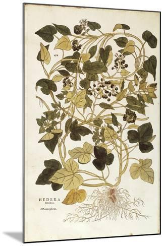 Ivy (Hedera Helix Nigra Aurea) by Leonhart Fuchs from De Historia Stirpium Commentarii Insignes (No--Mounted Giclee Print