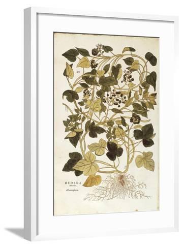Ivy (Hedera Helix Nigra Aurea) by Leonhart Fuchs from De Historia Stirpium Commentarii Insignes (No--Framed Art Print