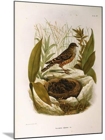 Illustration from Eugenio BettoniS Natural History of Birds That Nest in Lombardy Representing Alpi--Mounted Giclee Print