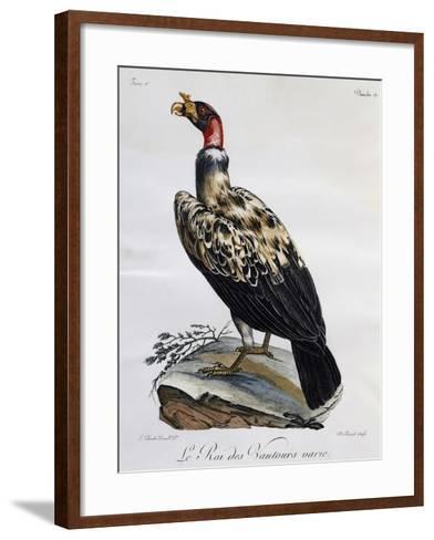 King Vulture (Sarcoramphus Papa)--Framed Art Print