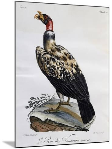 King Vulture (Sarcoramphus Papa)--Mounted Giclee Print