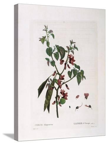 Judas Tree (Cercis Siliquastrum)--Stretched Canvas Print