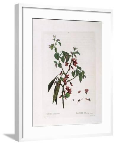 Judas Tree (Cercis Siliquastrum)--Framed Art Print