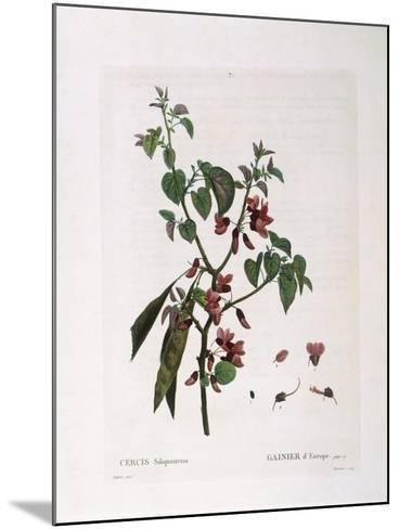 Judas Tree (Cercis Siliquastrum)--Mounted Giclee Print
