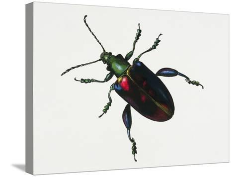 Malayan Frog Beetle or Frog-Legged Leaf Beetle (Sagra Buqueti)--Stretched Canvas Print