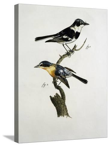 Male and Female of Pririt Batis (Batis Pririt)--Stretched Canvas Print