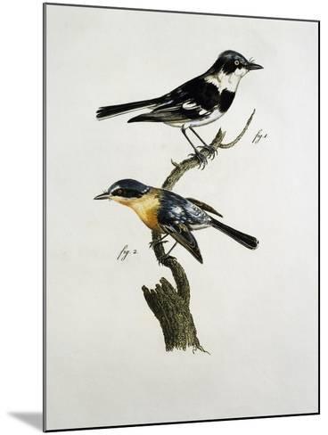 Male and Female of Pririt Batis (Batis Pririt)--Mounted Giclee Print