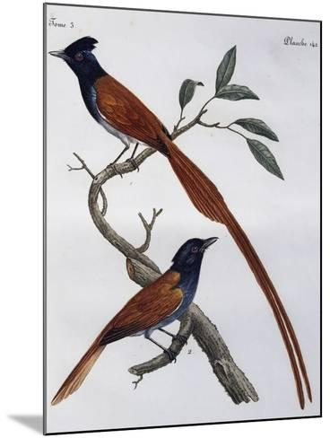 Male and Female of Spotted Flycatcher (Muscicapa Striata)--Mounted Giclee Print