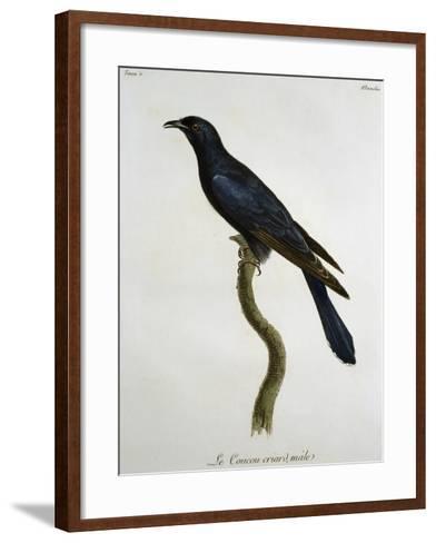 Male Black Cuckoo (Cuculus Clamosus)--Framed Art Print