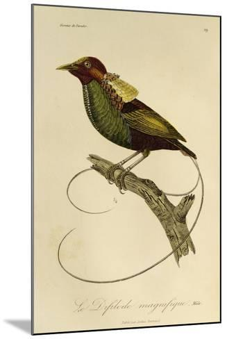 Male of Magnificent Bird-Of-Paradise (Cicinnurus Magnificus)--Mounted Giclee Print