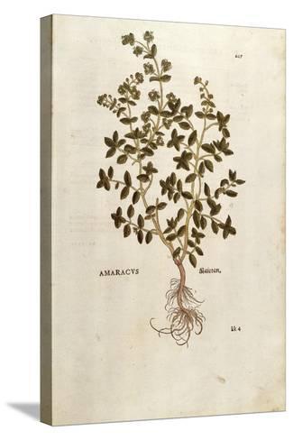 Marjoram - Origanum Majorana (Amaracus) by Leonhart Fuchs from De Historia Stirpium Commentarii Ins--Stretched Canvas Print