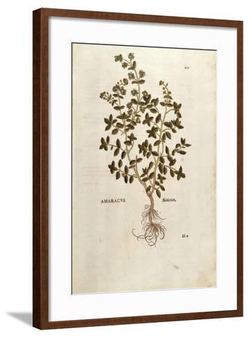 Marjoram - Origanum Majorana (Amaracus) by Leonhart Fuchs from De Historia Stirpium Commentarii Ins--Framed Art Print