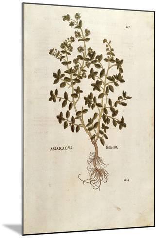 Marjoram - Origanum Majorana (Amaracus) by Leonhart Fuchs from De Historia Stirpium Commentarii Ins--Mounted Giclee Print