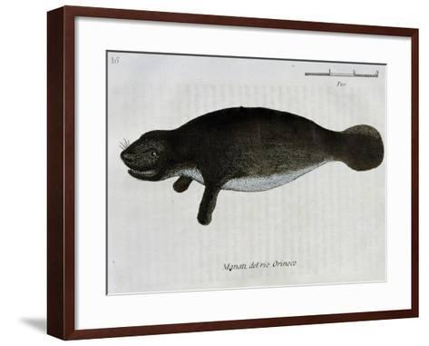 Manatee from Rio Orinoco and Amazonian Manatee (Trichechus Inunguis)--Framed Art Print