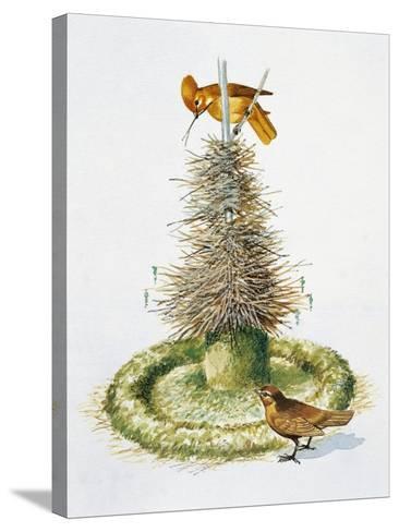 Pair of Macgregor's Bowerbirds (Amblyornis Macgregoriae)--Stretched Canvas Print