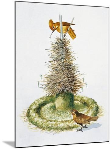 Pair of Macgregor's Bowerbirds (Amblyornis Macgregoriae)--Mounted Giclee Print