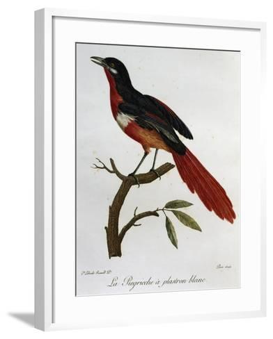Piegriche Plastron Blanc (Lanius Mystacus)--Framed Art Print