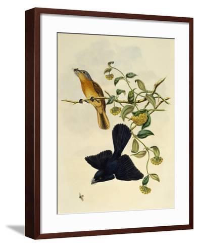 Ochre-Headed Flycatcher (Myiagra Cervinicauda)--Framed Art Print