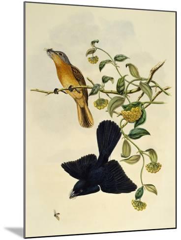 Ochre-Headed Flycatcher (Myiagra Cervinicauda)--Mounted Giclee Print