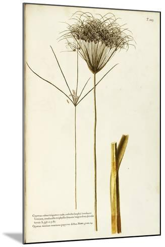 Papyrus Sedge or Paper Reed (Cyperus Papyrus)--Mounted Giclee Print