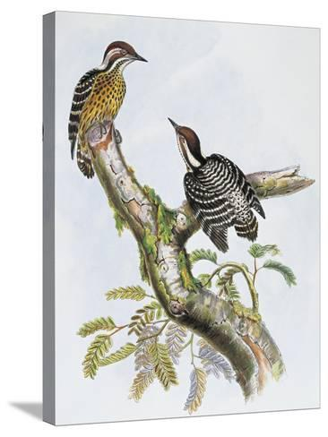 Philippine Pygmy Woodpecker (Dendrocopos Maculatus)--Stretched Canvas Print