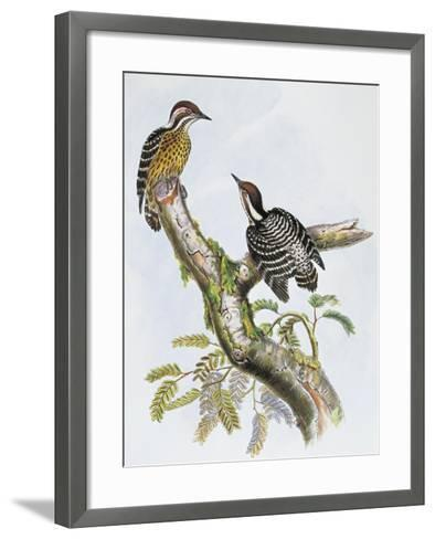 Philippine Pygmy Woodpecker (Dendrocopos Maculatus)--Framed Art Print
