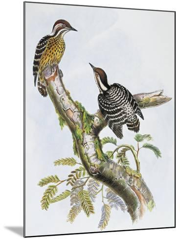 Philippine Pygmy Woodpecker (Dendrocopos Maculatus)--Mounted Giclee Print