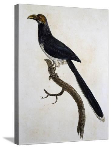 Red-Faced Malkoha (Phaenicophaeus Pyrrhocephalus)--Stretched Canvas Print