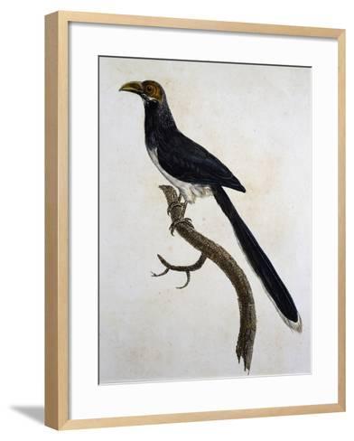 Red-Faced Malkoha (Phaenicophaeus Pyrrhocephalus)--Framed Art Print
