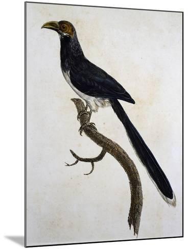 Red-Faced Malkoha (Phaenicophaeus Pyrrhocephalus)--Mounted Giclee Print
