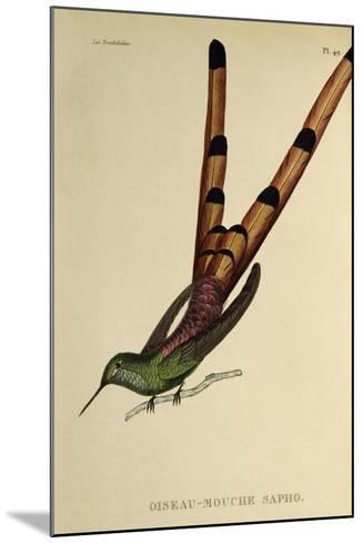 Red-Tailed Comet (Sappho Sparganurus)--Mounted Giclee Print