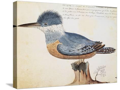 Ringed Kingfisher (Megaceryle Torquata)--Stretched Canvas Print