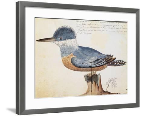Ringed Kingfisher (Megaceryle Torquata)--Framed Art Print