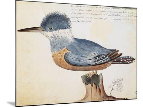 Ringed Kingfisher (Megaceryle Torquata)--Mounted Giclee Print