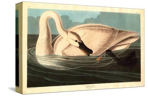 Robert Havell after John James Audubon--Stretched Canvas Print