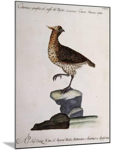 Rock Partridge or Crested Quail from Mexico (Coturnix Mexicana Cristata)--Mounted Giclee Print
