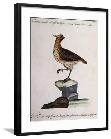 Rock Partridge or Crested Quail from Mexico (Coturnix Mexicana Cristata)--Framed Art Print