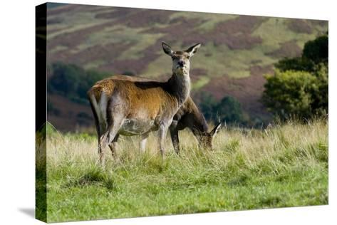 Red Deer (Cervus Elaphus) Hinds During Rut Grazing in a Meadow--Stretched Canvas Print
