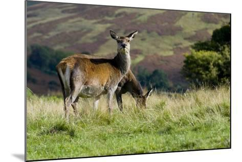 Red Deer (Cervus Elaphus) Hinds During Rut Grazing in a Meadow--Mounted Photographic Print