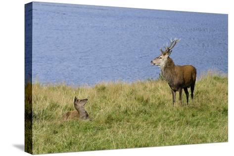 Red Deer (Cervus Elaphus) Stag and Hind During Rut on the Edge of Loch Ranza--Stretched Canvas Print