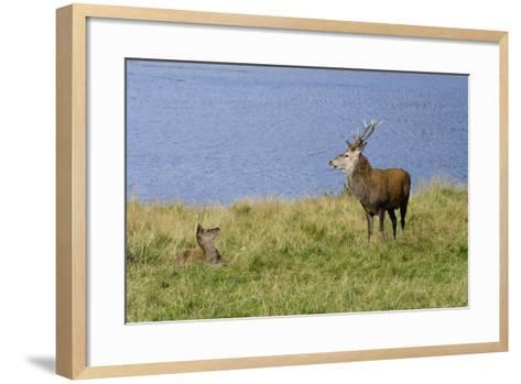 Red Deer (Cervus Elaphus) Stag and Hind During Rut on the Edge of Loch Ranza--Framed Art Print